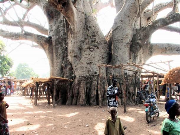 اغرب الاشجار في العالم 1013.jpg