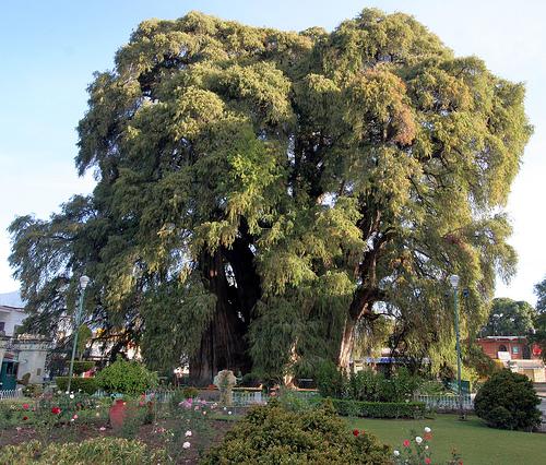اغرب الاشجار في العالم 1018.jpg